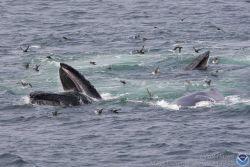 Humpback whale and sea birds Photo