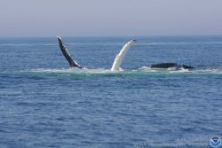 Humpback whales Photo