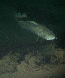Large fish Photo