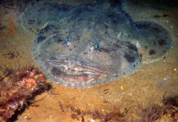 Seems like a Flathead Fish or Stingray hiding under the sand. Photo