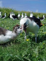 Mealtime for an albatross chick. Photo