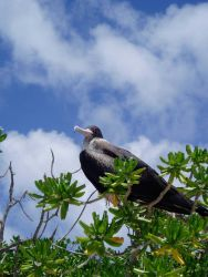 Iwa bird (frigate bird) perched on a low bush. Photo