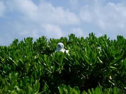 A red-footed booby peering over the bushes from its perch. Photo