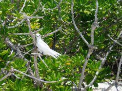 A fairy tern. Photo