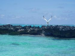 A red-footed booby taking off from a coral islet. Photo