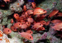 Hawaiian squirrelfish (Sargocentron xantherythrum) Photo