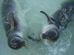 Monk seals Photo