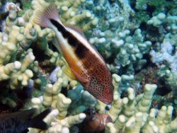 A blackside hawkfish (Paracirrhites forsteri). Photo