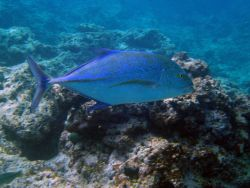 Bluefin trevally (Caranx melampygus). Photo