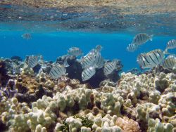 Manini or convict tangs amongst finger coral in shallow water. Photo