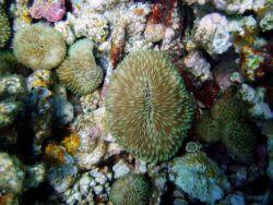A mushroom coral (Fungia scutaria). Photo