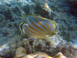 Ornate butterflyfish (Chaetodon ornatissimus). Photo