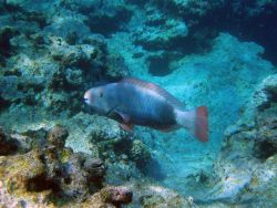 Uhu or parrotfish ( Scarus perspicillatus). Photo