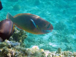A spectacled parrotfish (Chlorurus perspicillatus). Photo