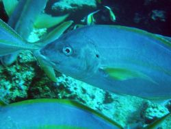 Thicklipped trevally Photo
