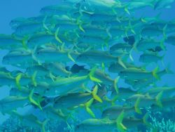 Yellowfin goatfish Photo