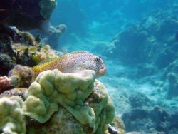Short-bodied blenny sits atop a ledge. Photo