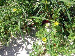 Blooming flowers on Laysan Island. Photo