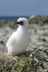 Booby chick Photo