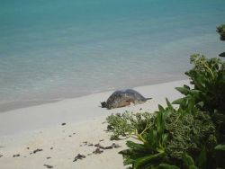 A green turtle with an amputated limb that was probably lost to marine debris. Photo