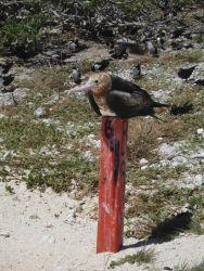A great frigatebird taking a rest between trips Photo