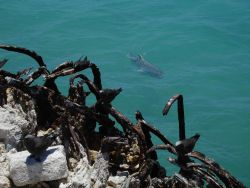 Ulua swimming by the remains of a concrete structure Photo