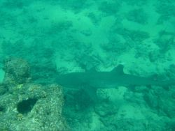 A white-tipped reef shark cruising by Photo