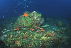 Deepwater habitat at Bright Bank with creole fish, grouper, Spanish hogfish, and brown chromis swimming about. Photo