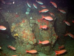 A school of creolefish (Paranthias furcifer) in deepwater habitat at MacNeil Bank. Photo