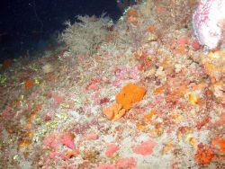 A sponge-dominated area of deepwater habitat at MacNeil Bank. Photo