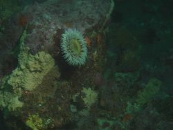 Fish eating anemone (Urticina piscivora) on boulder in rocky habitat at 25 meters depth Photo