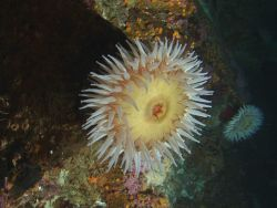 Fish eating anemone (Urticina piscivora) on boulder in rocky habitat. Photo