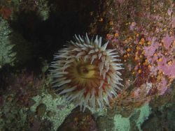 Fish eating anemone (Urticina piscivora on boulder in rocky habitat. Photo