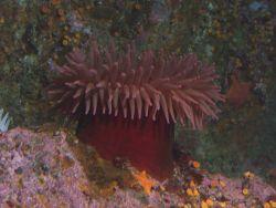 Fish eating anemone (Urticina piscivora) on boulder in rocky habitat. Photo