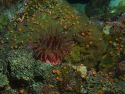 Unidentified sea anemone Photo