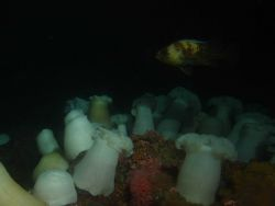 Quillback rockfish (Sebastes maliger) above white plumed sea anemones (Metridium giganteum) at 30 meters depth. Photo