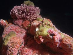 Strawberry anemones (Corynactis californica) 74 meters depth Photo