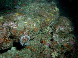 Fish eating sea anemone (Urticina piscivora) on boulder in rocky habitat Photo