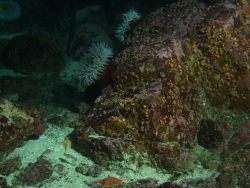 Fish eating sea anemone (Urticina piscivora) on boulder in rocky habitat. Photo