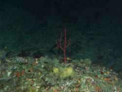 Red Gorgonian (Lophogorgia sp.) hydrocoral on rocky reef habitat at 65 meters depth Photo
