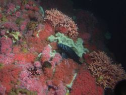 Blue rockfish (Sebastes mystinus) among invertebrates on densely covered rocky reef with foliose sponges, strawberry anemones and hydrocoral at 50 met Photo