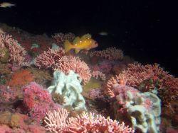 Rosy rockfish (Sebastes rosaceus) among California hydrocoral, foliose sponges and strawberry anemones on rocky habitat at 50 meters Photo