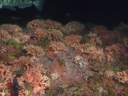 Dense hydrocoral (Stylaster californicus) and invertebrate cover in rocky reef habitat at 50 meters Photo
