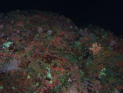 Invertebrates in rocky reef habitat at 90 meters depth Photo