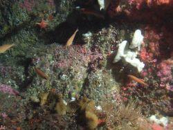 Small rockfish on invertebrate covered rocky reef habitat Photo
