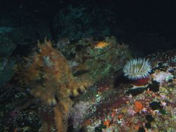 Giant Pacific Octopus (Octopus dofleini), rosy rockfish (Sebastes rosaceus), and anemone in boulder habitat at 90 meters depth Photo
