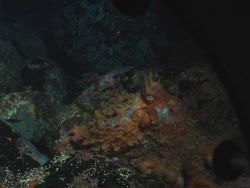 Giant Pacific Octopus (Octopus dofleini) in boulder habitat at 90 meters depth Photo