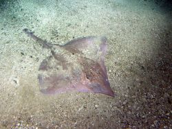 Long nose skate (Raja rhina) in soft bottom habitat at 116 meters depth Photo