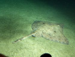 Long nose skate in soft bottom habitat at 116 meters depth Photo