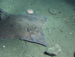 Longnose Skate (Raja rhina) on soft bottom habitat at 302 meters Photo